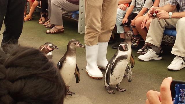 鳥羽水族館 ペンギンの行進