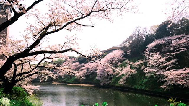 牛が淵の桜