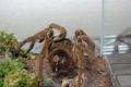 [蜘蛛]Theraphosa blondi SAF