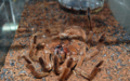 [蜘蛛]Theraphosa blondi