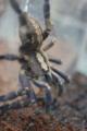 [蜘蛛]Poecilotheria metallica
