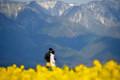 『京都新聞写真コンテスト 比良山と菜の花の風景その1』