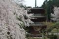 『京都新聞写真コンテスト徳源院枝垂れ桜その3 』