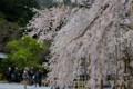 『京都新聞写真コンテスト徳源院枝垂れ桜その2 』