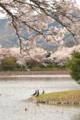 京都新聞写真コンテスト 鳥も花見