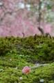 京都新聞写真コンテスト ひとつの花弁
