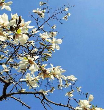 モクレンと春の袋町公園.jpg