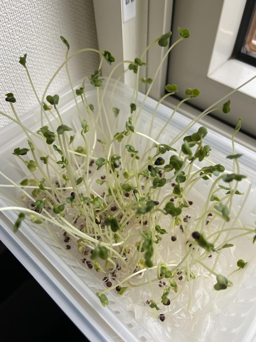 水耕栽培 100均 容器 種 ブロッコリースプラウト カイワレ