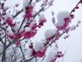 京都新聞写真コンテスト 春の淡雪
