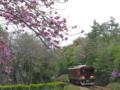 京都新聞写真コンテスト八重桜咲く沿線
