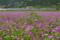 京都新聞写真コンテストレンゲ咲く琵琶湖線