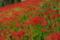 京都新聞写真コンテスト群れ咲く彼岸花