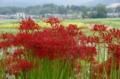 京都新聞写真コンテスト秋の畦道