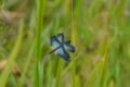 京都新聞写真コンテスト 蝶のようなトンボ