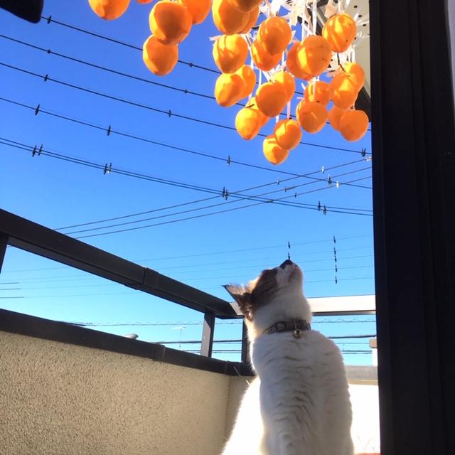 愛猫Kさん、柿が気になる様子。見つめてます。