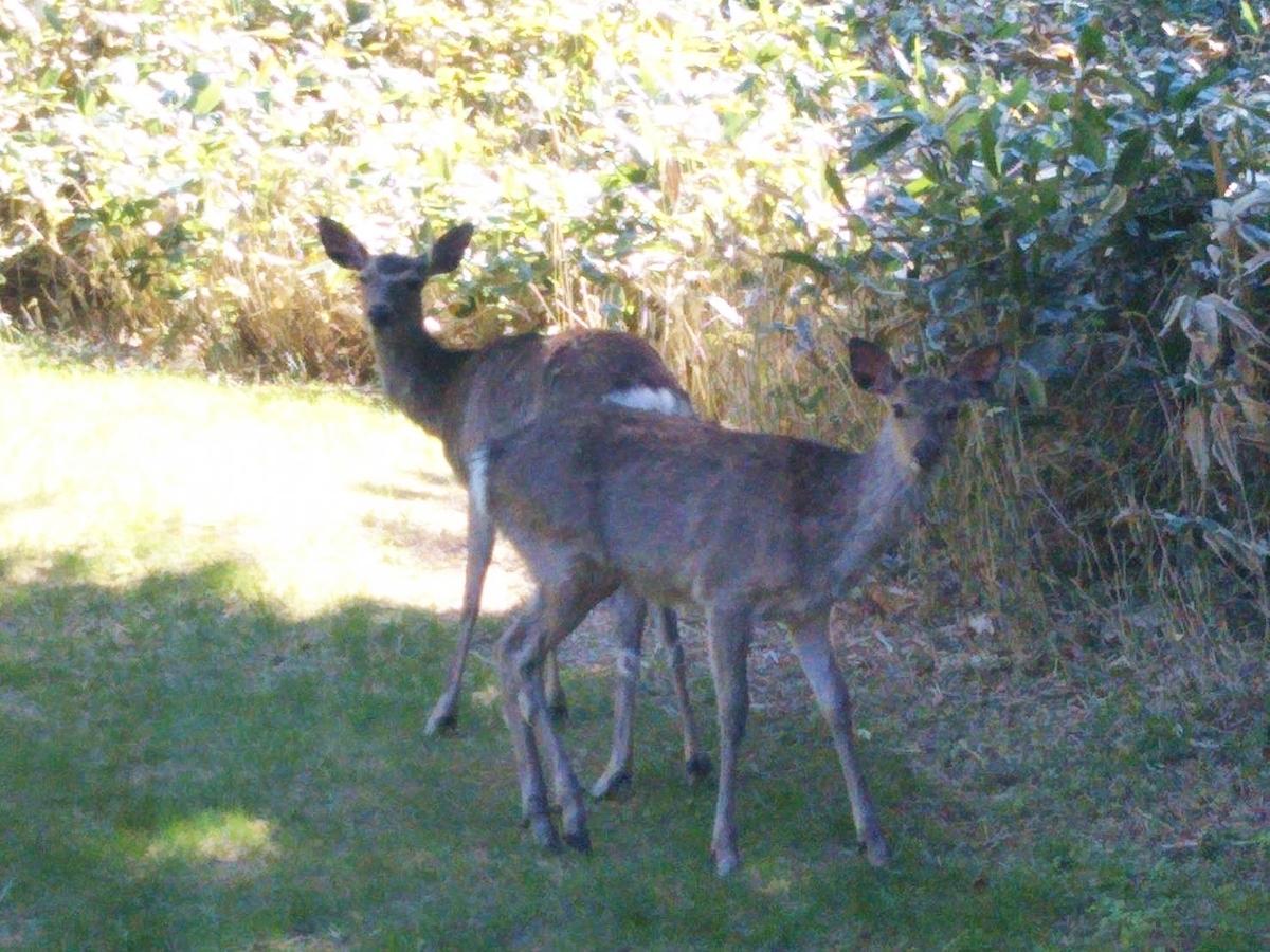 f:id:soboku-kobe:20190531210958j:plain:alt=星野リゾートトマムニニヌプリで野生の鹿が