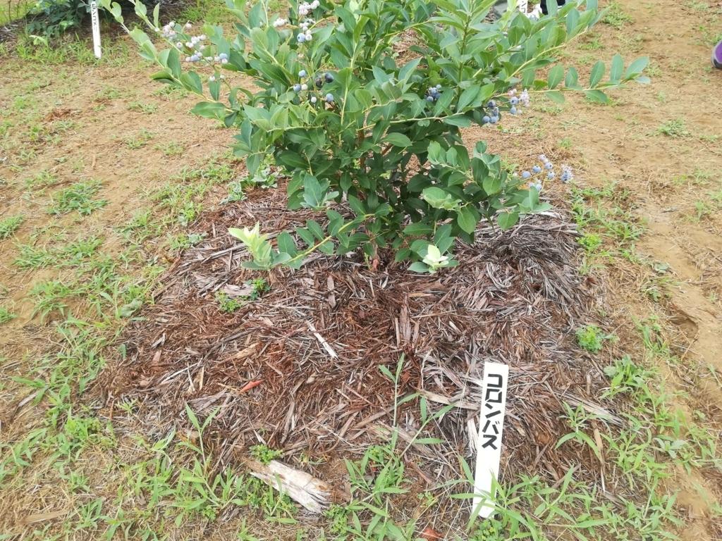 ブルーベリーの品種コロンバス