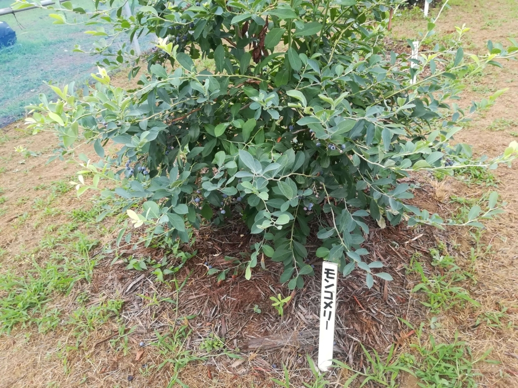 ブルーベリーの品種モンゴメリー