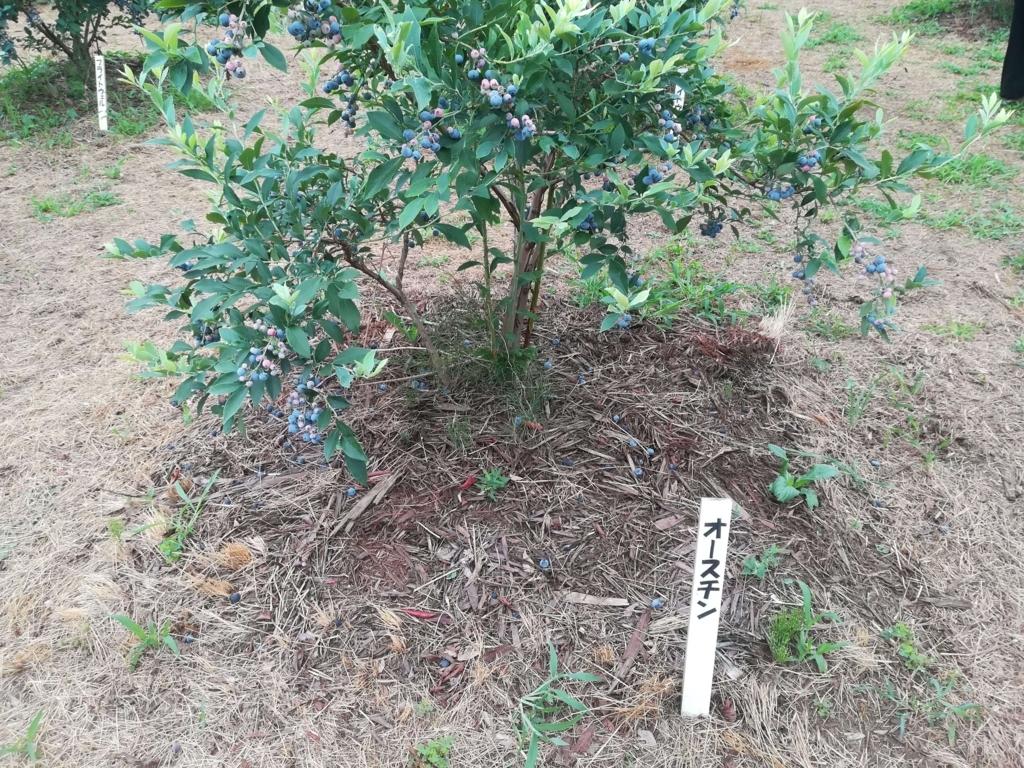 ブルーベリーの品種オースチン