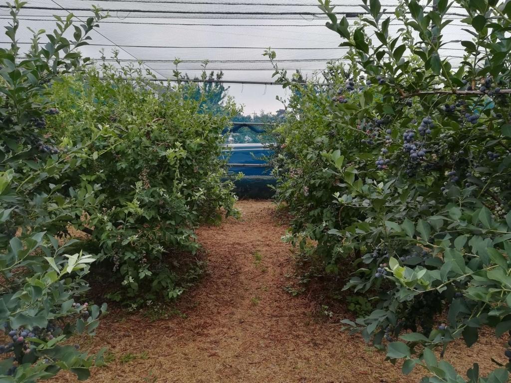 ブルーベリー農園の画像