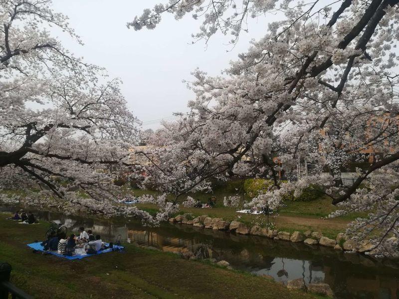 深大寺の桜2
