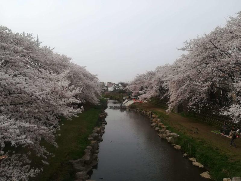 深大寺の桜1