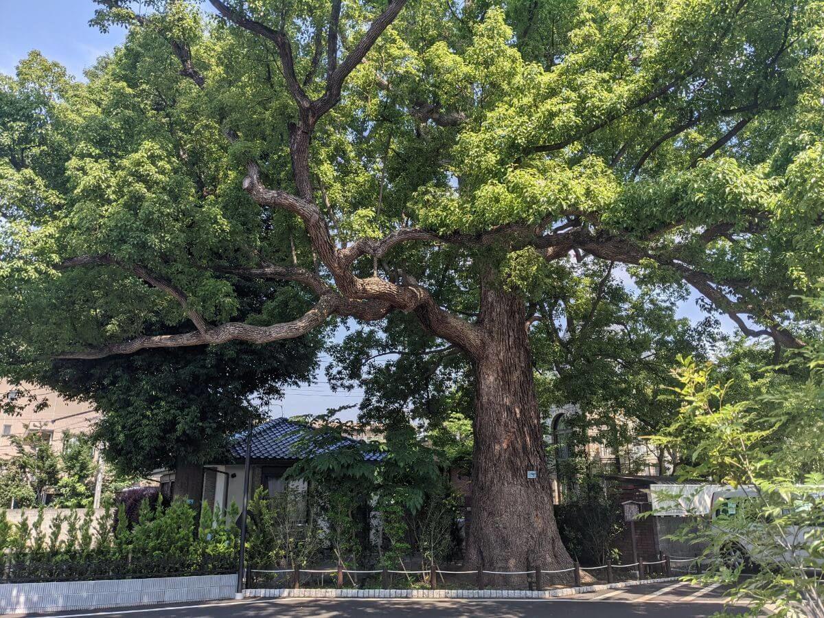 スターバックスコーヒー西東京新町店の保存樹木