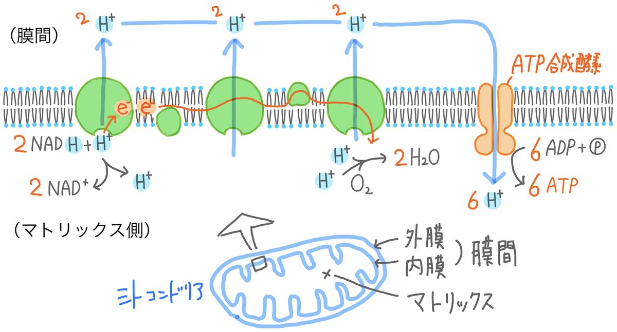 13】呼吸~電子伝達系 - SOILーSHOP生物教材製作所 / 自習室