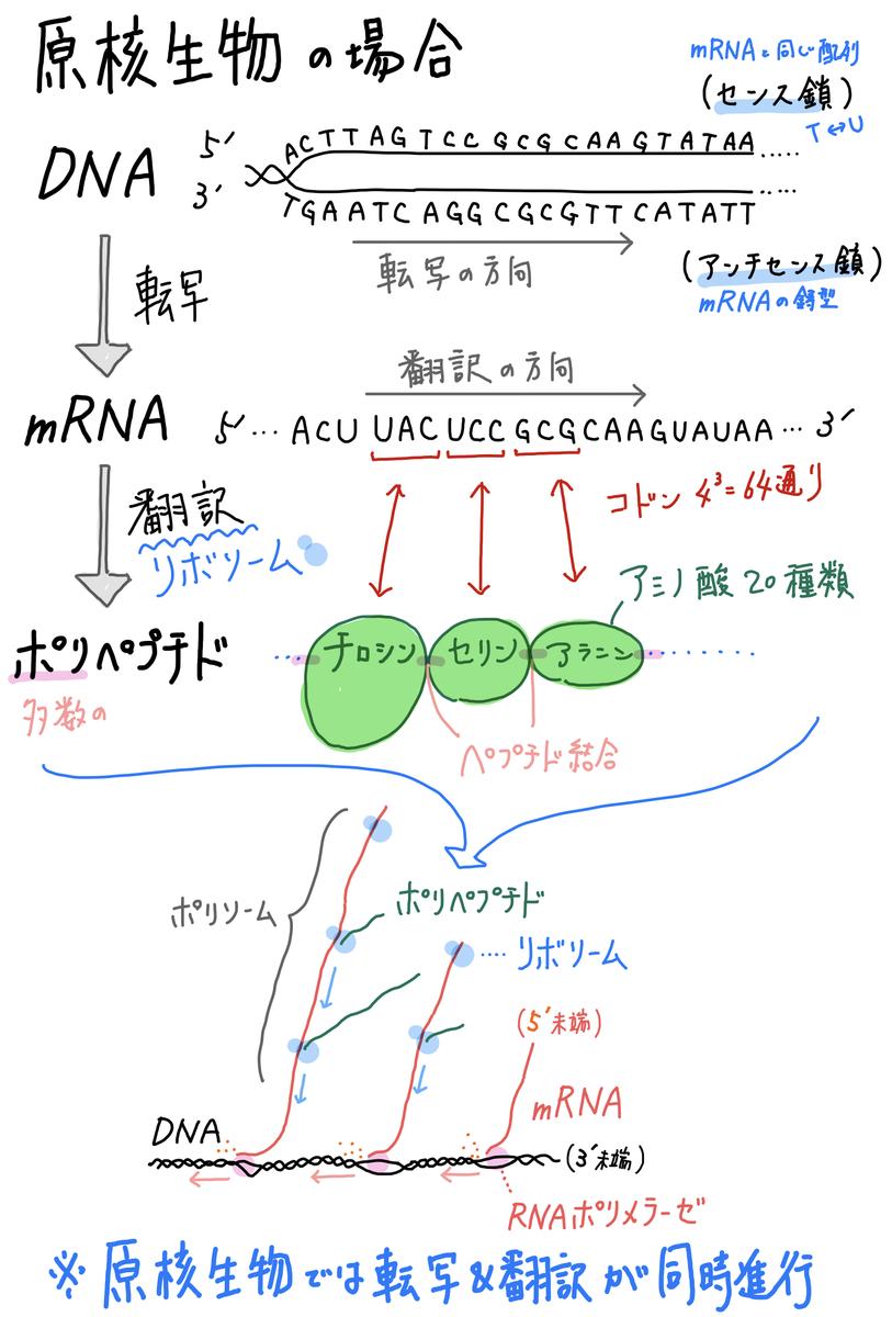 9】原核生物の転写&翻訳 - SOILーSHOP生物教材製作所 / 自習室