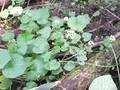 ワサビの葉