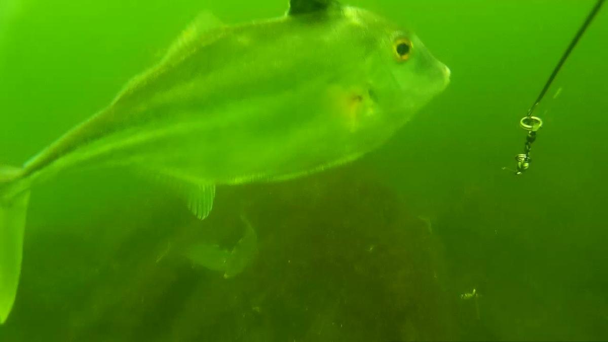 6月の三河湾。釣りの途中で海中の動画撮影したら、予想外の魚が群れていた!
