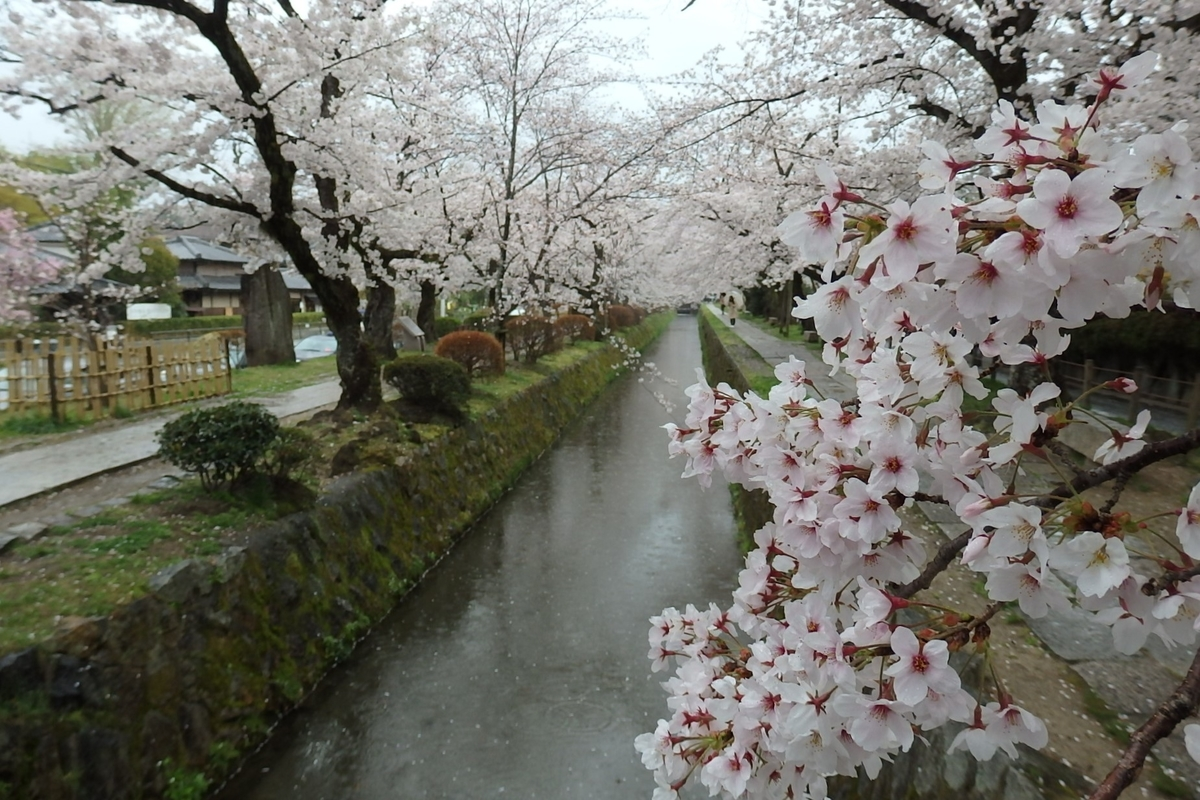 哲学の道 京都 花見