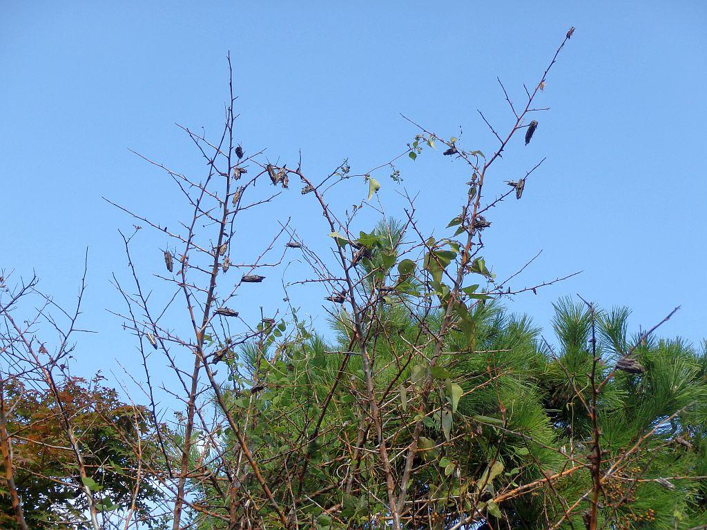 敷津バス停近くで見かけた、たくさんのミノムシをぶら下げた木