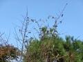 [いきもの]ミノムシが実った木