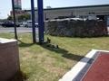[駅][いきもの]鳴門駅と鳩とキョーエイ