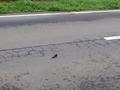 [いきもの]道路上で動けないツバメ