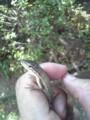 カナヘビ捕獲。すぐ逃がした。