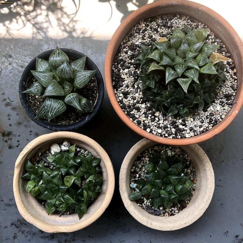 父から譲りうけた多肉植物(蒼角殿、ハオルチア・レツーサ、ハオルチア・玉扇)
