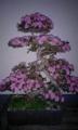 5月20日、ぼんぼん盆栽。