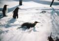 ペンギンの散歩@旭山動物園(フィルムsolaris100)