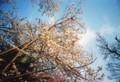 桜2009@道庁(フィルムsolaris100)