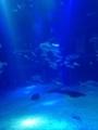 [大阪][海遊館][ジンベエザメ][WhaleShark][aquarium][水族館]海遊館のジンベエザメ。2013/8/31