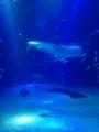 [大阪][海遊館][WhaleShark][ジンベエザメ][aquarium][水族館]海遊館のジンベエザメ。2013/8/31