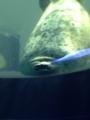 [海遊館][水族館][アザラシ]海遊館のあざらし。2013/8/31