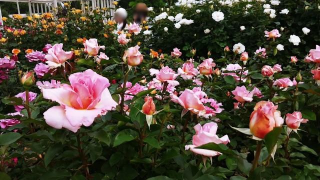 日比谷花壇大船フラワーセンターのバラ園