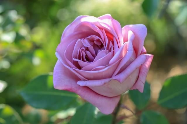 日比谷花壇大船フラワーセンターのバラ(レタッチ後)