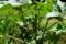 トウゴマ Ricinus communis