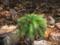 ヒノキゴケ   Pyrrhobryum dozyanum @鰐塚山