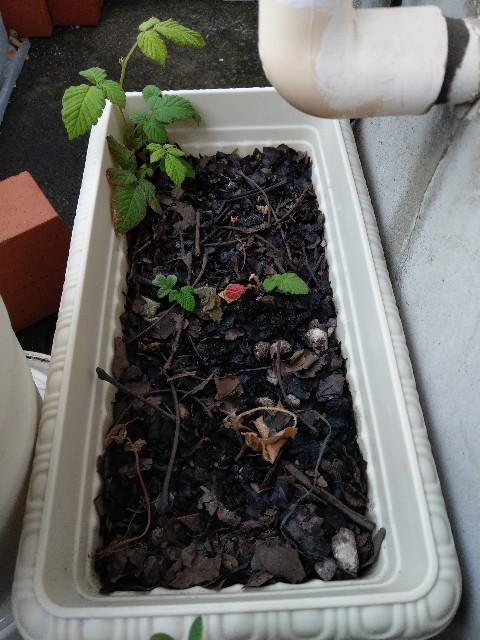 クサイチゴ(草苺)1か月前