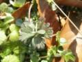フウロソウ科の葉っぱ